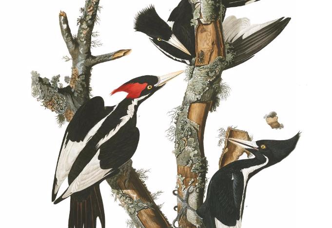 Audubon's birds, up for grabs