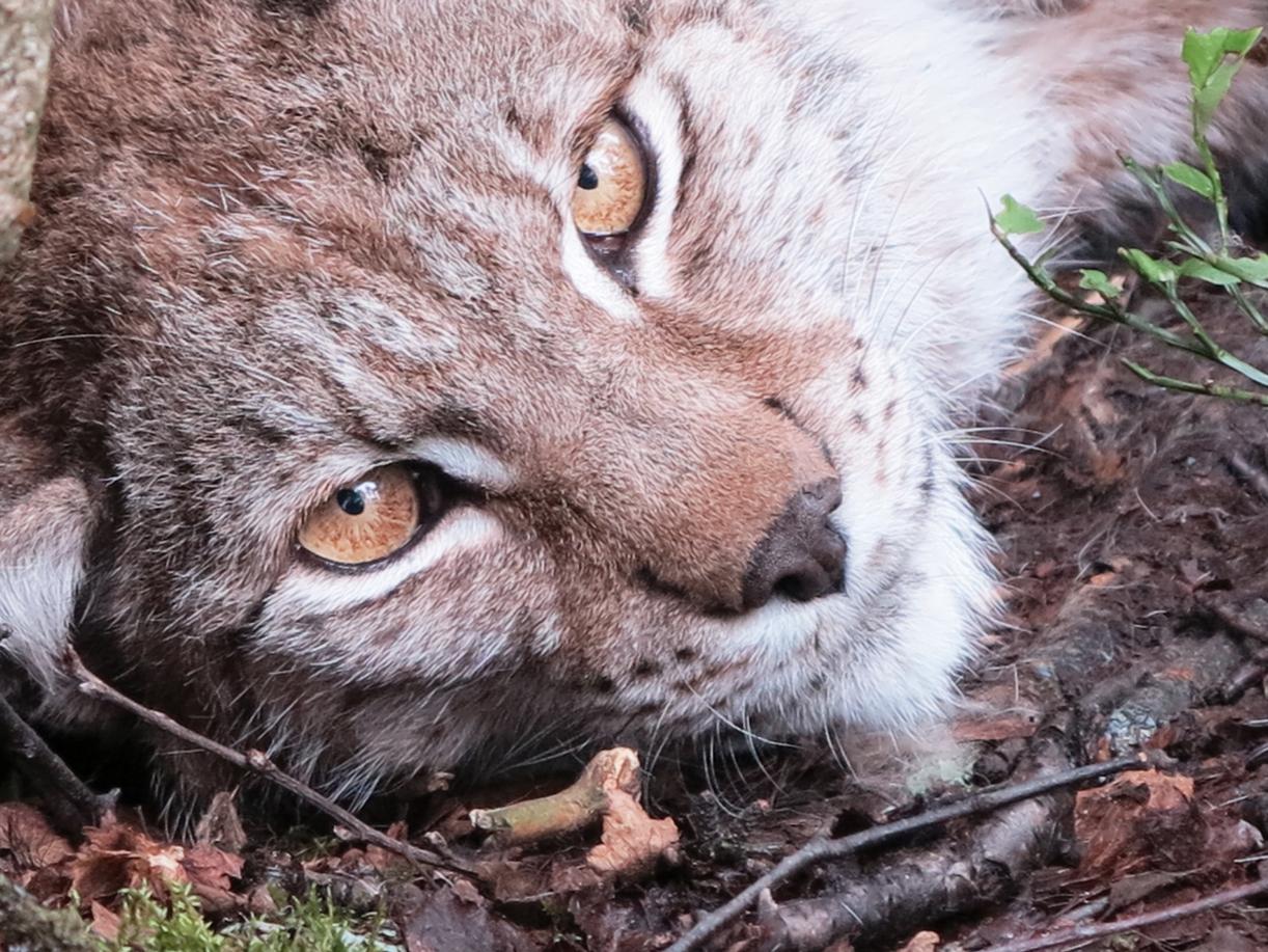 Walking with cats: Eurasian lynx