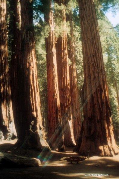 Giant Sequoias | Sequoia National Park | Marsha J Black