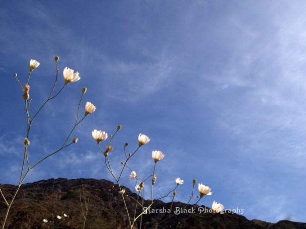 Flowers in Death Valley against the blue sky   Marsha J Black