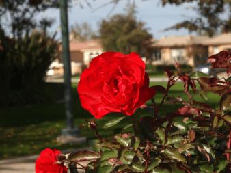 Red Rose - Bakersfield, California | Marsha J Black