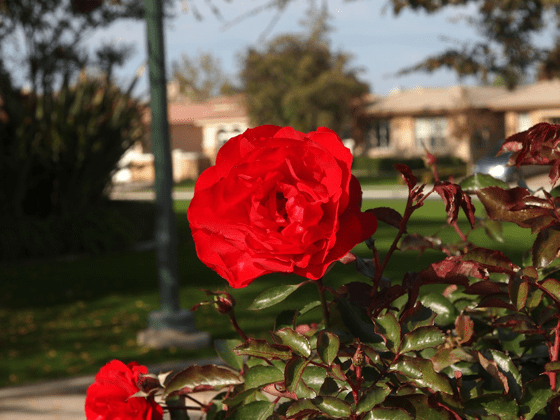 Red Rose - Bakersfield, California | Marsha J Black