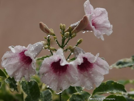 Flowers singing in the rain during the California drought in Bakersfield | Marsha J Black