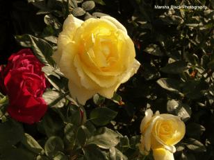 Yellow Roses | Marsha J Black