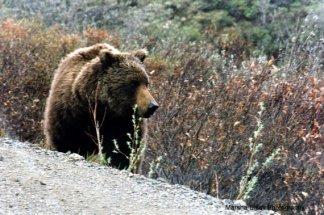 Grizzly Bear ambling through the tundra in Denali National Park   Marsha J Black