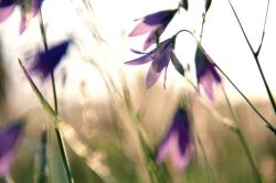 Bluebells in the meadow