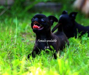 пти брабансон черный