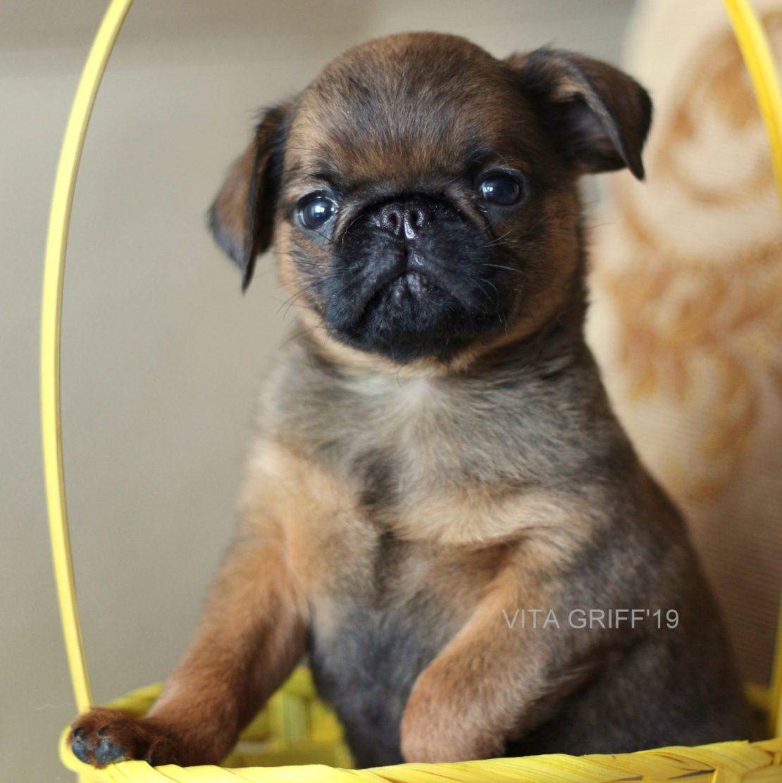 продается щенок пти брабансон рыжего окраса