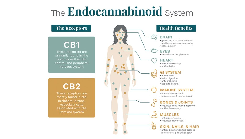 An info graphic depicting endocannabinoid receptors
