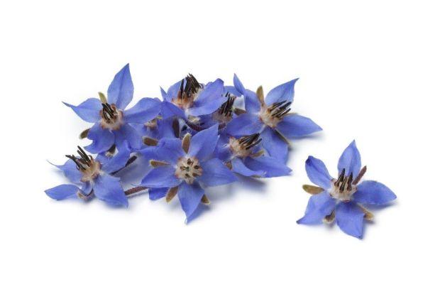 edible-blue-borage-flowers-from-organic-gurlz-gardens-fort-wayne-indiana