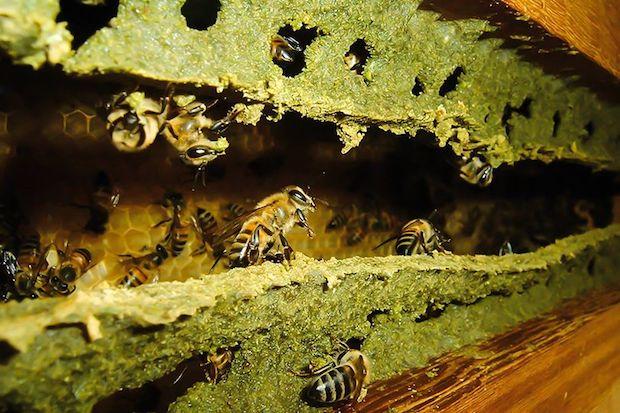 propolis-verde-invista-em-sua-imunidade-2
