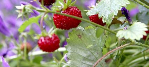 Photo fraisier sauvage 6