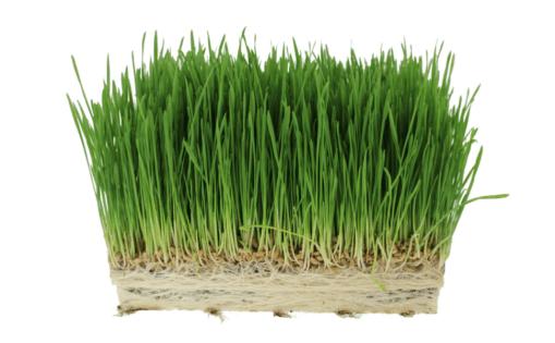 GIY: wheatgrass
