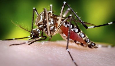 Aedes mosquito - zika virus prevention