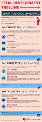 Fetus Development Timeline