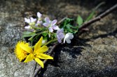 The flower offering of Yellow Trout Lily, Dandelion, Spring Beauty, False Rue Anemone, and Cut-leaved Toothwort