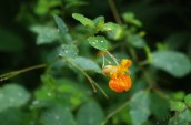 Texture of Spotted Jewelweed