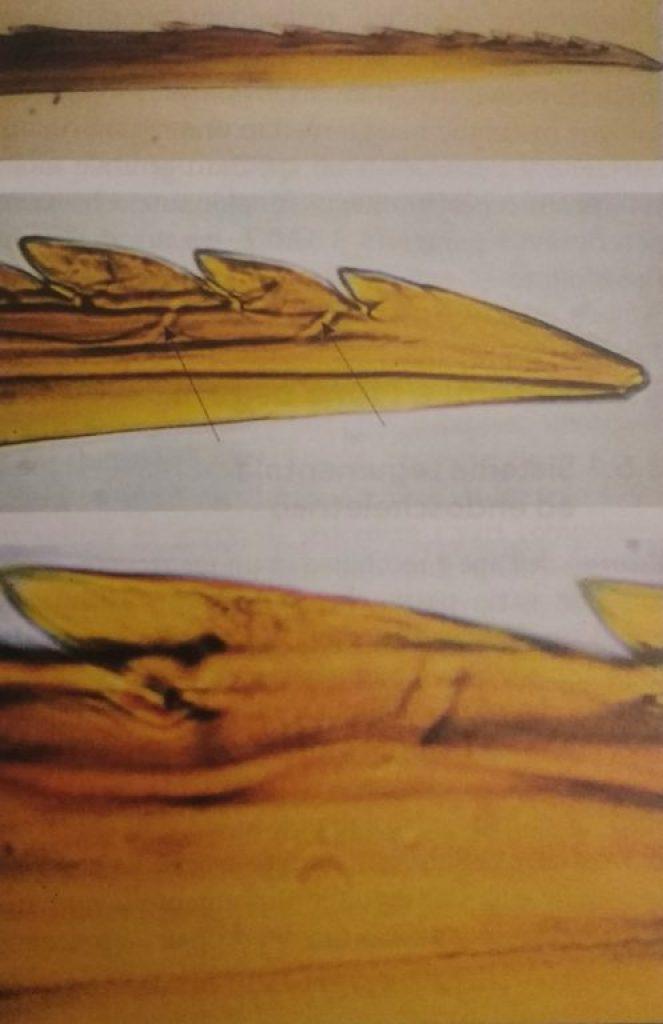 pungiglione di ape microscopio