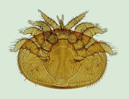 varroa al microscopio