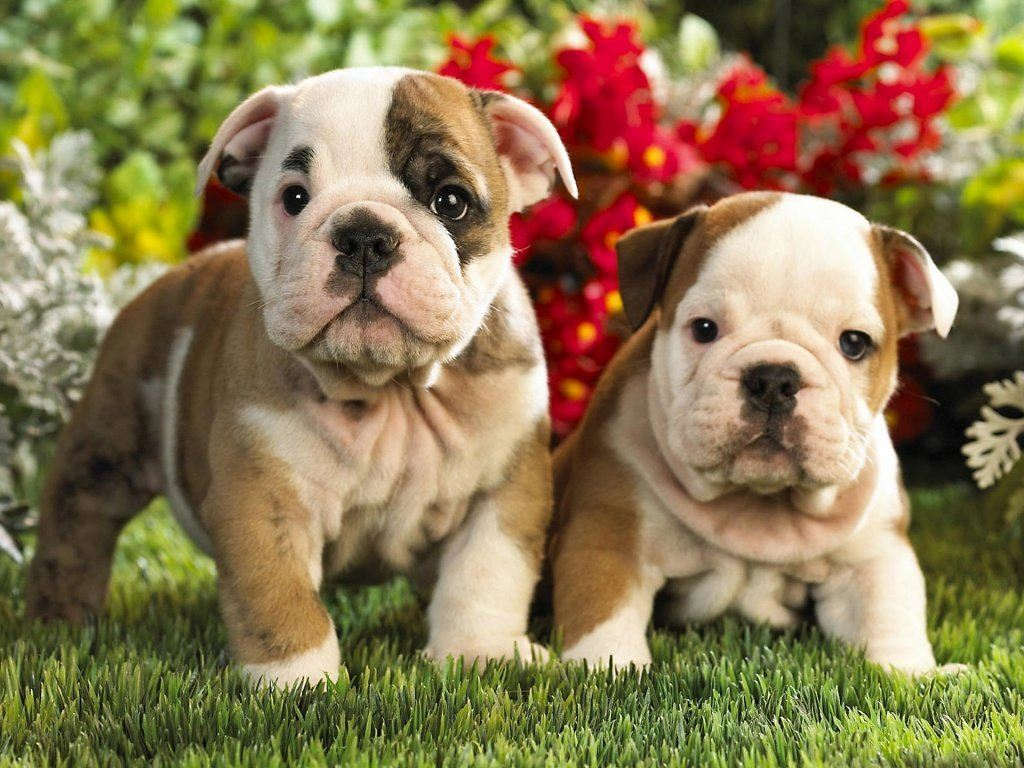 american bulldog puppy origin