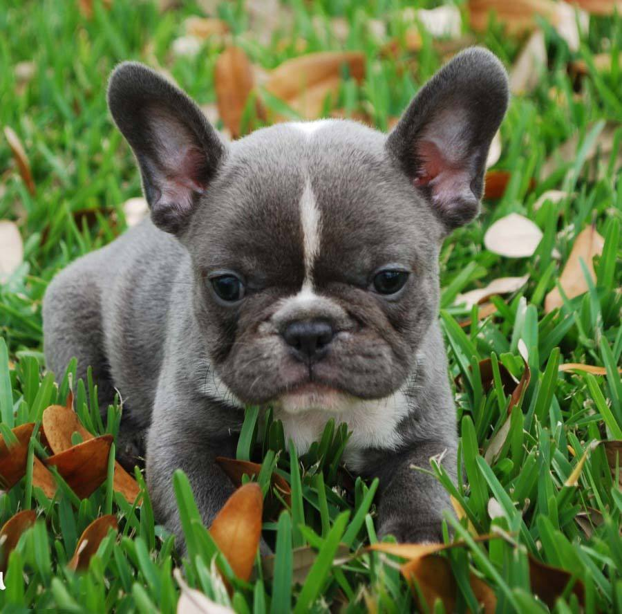 cute french bulldog puppy pictures puppies y. funnyphoto.co