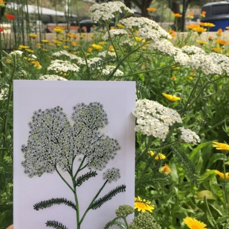 Yarrow Greeting Card with Yarrow