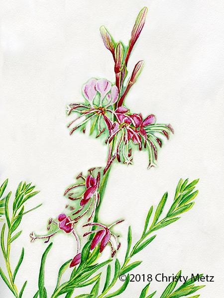 Gaura Flower