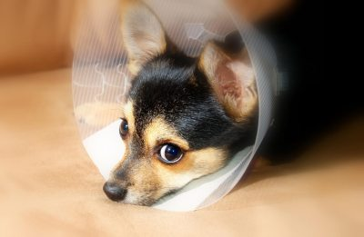 Dog with lick shield