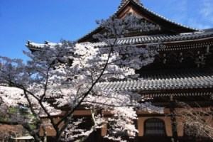 Cherry blossoms at Nanzen-ji