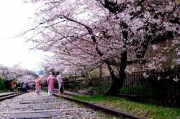 Cherry blossoms at Keage-Inkline