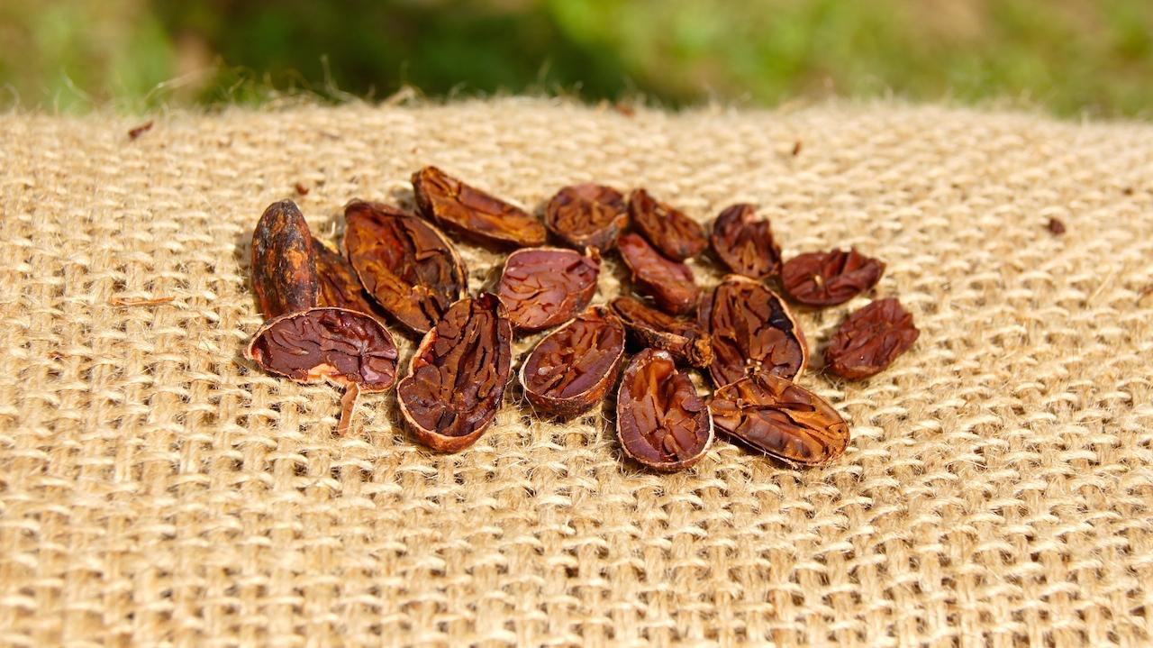 Así queda la semilla de cacao cuando ha sido secada correctamente