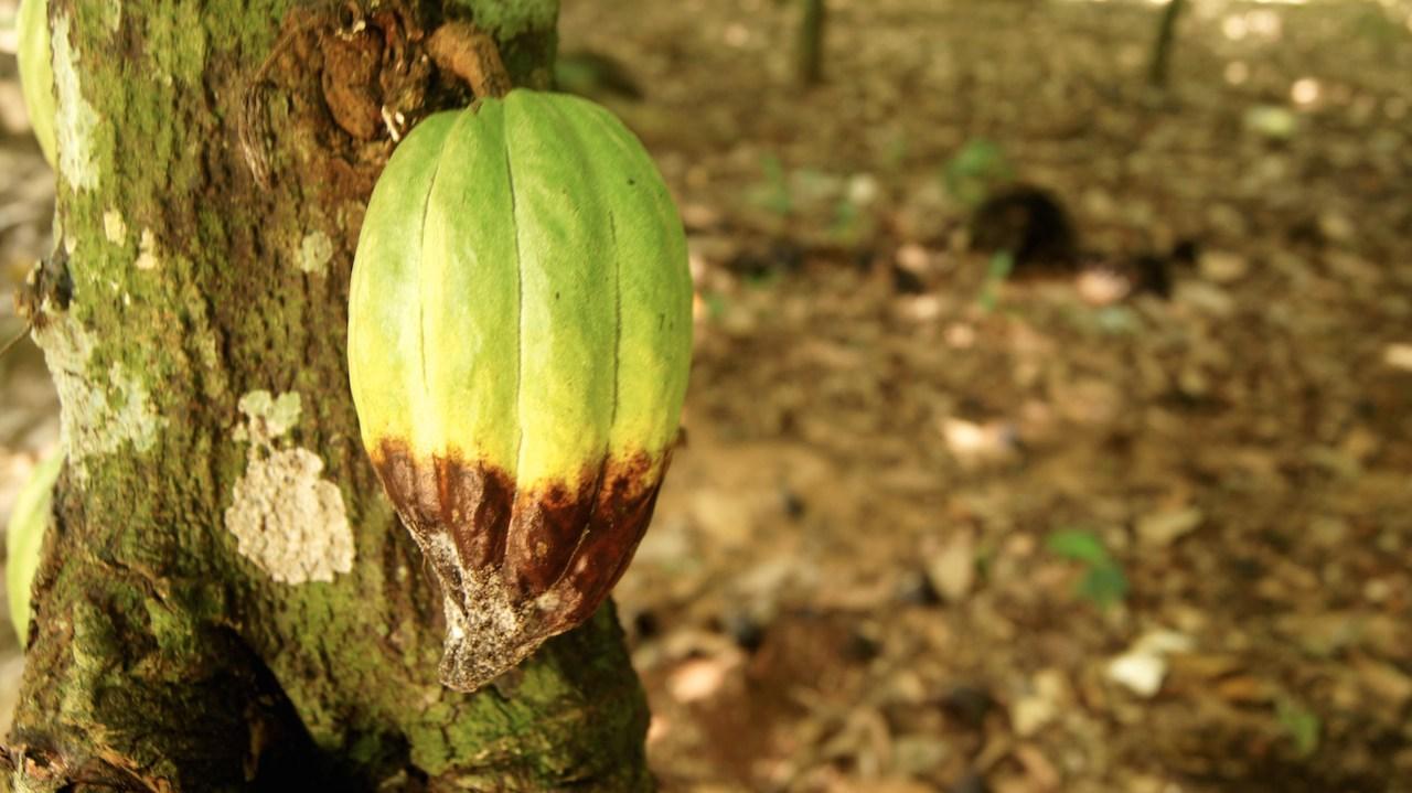 La monilia y la escoba de bruja son dos de las enfermedades más comunes en el cacao
