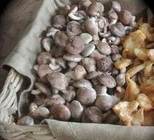 baby shiitake mushroom