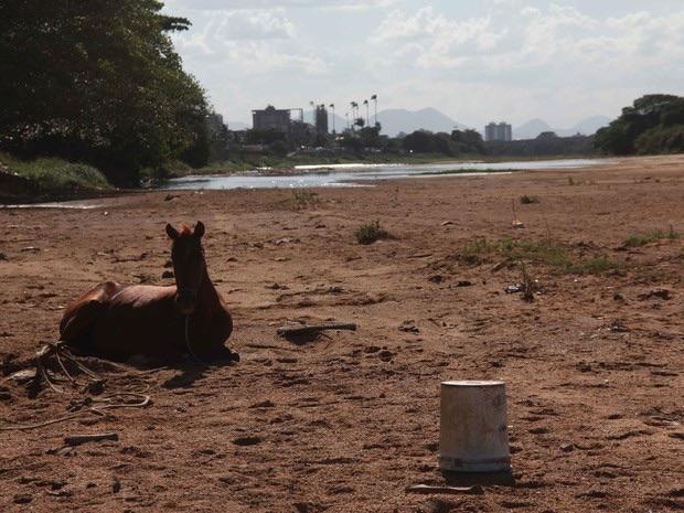 Animal descansa no leito do Rio Paraíba do Sul, área que deveria estar inundada (Foto: Hellen Souza/Folha da Manhã )
