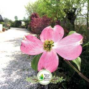 Cornus florida rubra