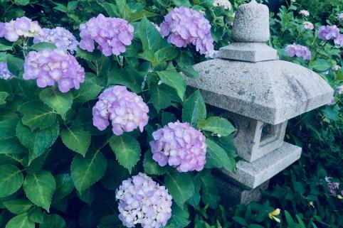 hydrangea flowers kamakura