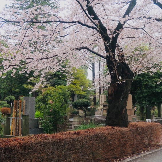 quiet places to see cherry blossom in tokyo