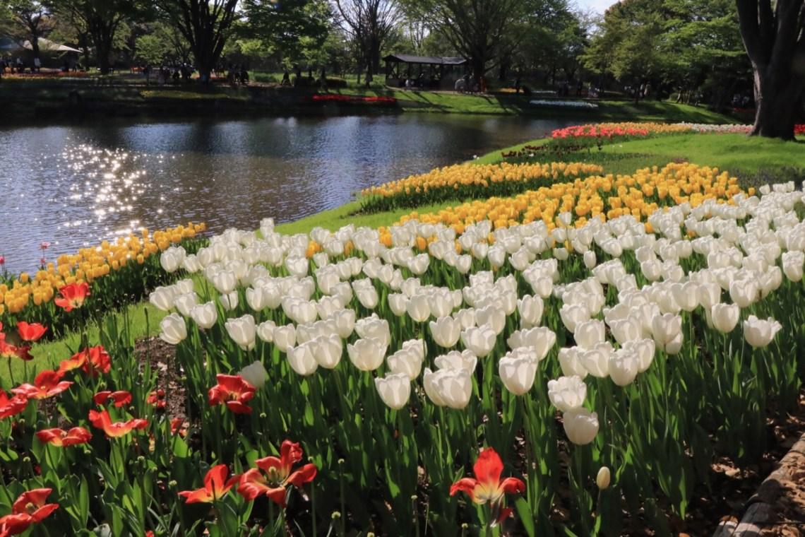 tulip season in tokyo