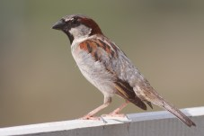 house_sparrow_mar08