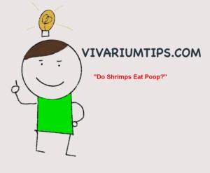 do shrimps eat poop