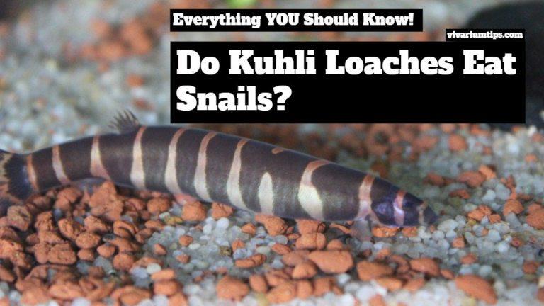 do kuhli loaches eat snails