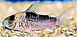 Corydoras Nijsseni