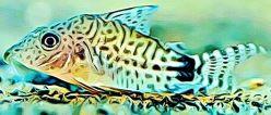 Corydoras Spectabilis