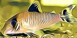 Corydoras Approuaguensis