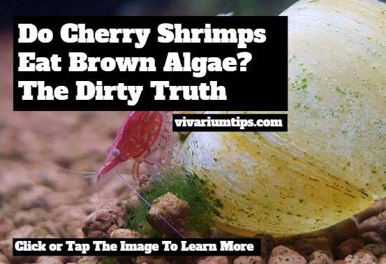 do cherry shrimps eat brown algae