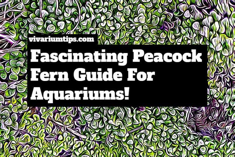 peacock fern guide