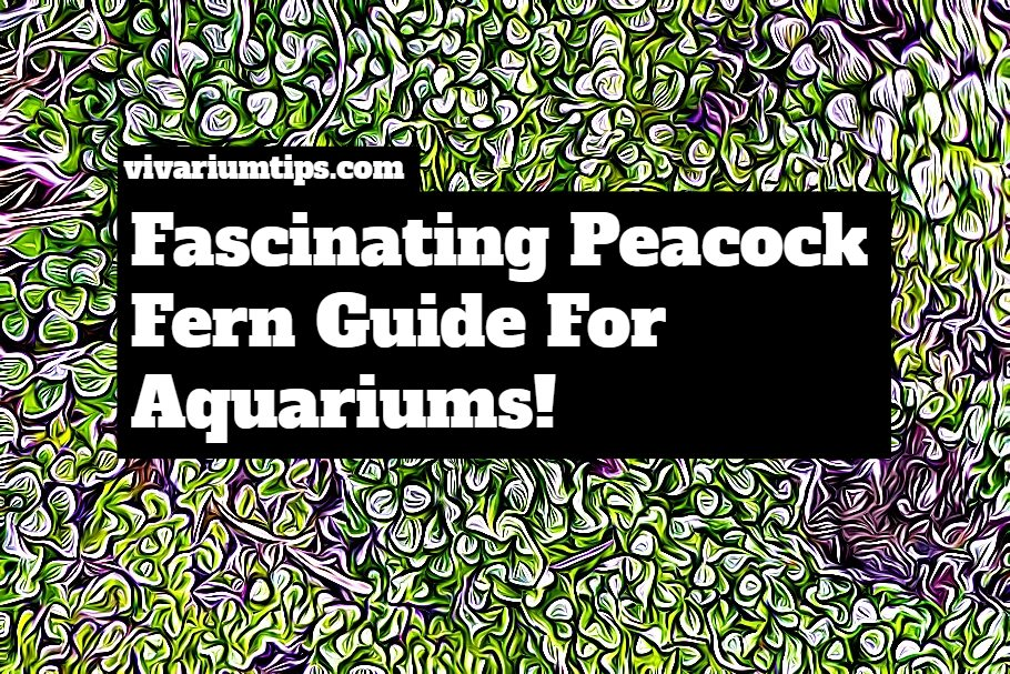 peacock fern guide