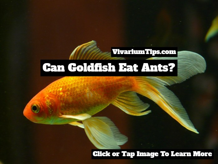 Can Goldfish Eat Ants