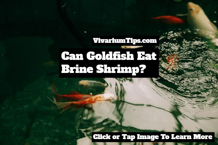 Can Goldfish Eat Brine Shrimp