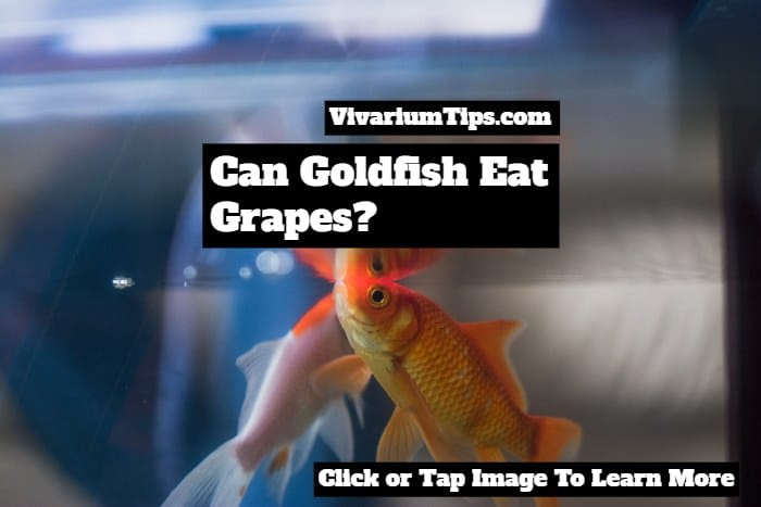 can goldfish eat grapes